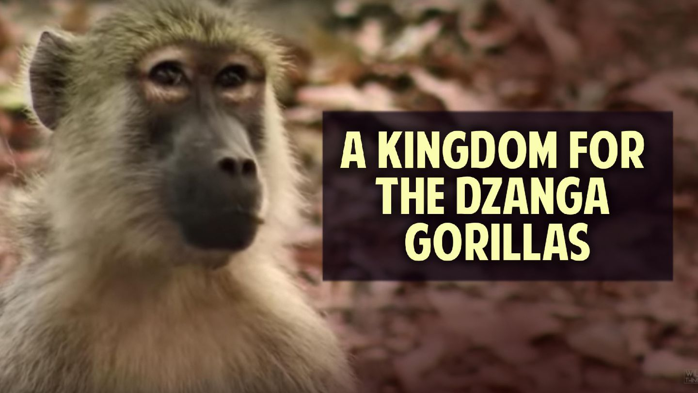 A Kingdom for Dzanga Gorillas